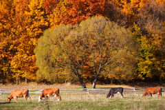 Cows Grazing in a autumn farmland pasture. Royalty Free Stock Image