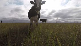 Cows grazing on an autumn meadow. The black and white cow follows stock video footage