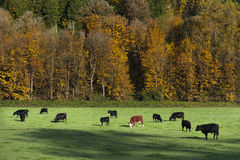 Cows Grazing in an Autumn Pasture. A scenic farmland along Highway 20 in western Washington. Deciduous trees are turning a glorious color as autumn grips the Stock Photos