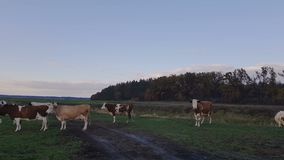 Cows on pasture at the sunset. Cows grazing on autumn pasture at sunset. Toned. Agricultural concept stock footage