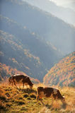 Cows grazing in autumn scenery Stock Images