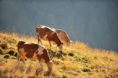 Cows grazing in autumn scenery Royalty Free Stock Image