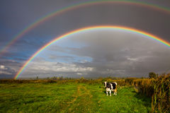 Cows grazing in the background of a beautiful rainbow Royalty Free Stock Image