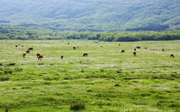 Cows grazing on a beautiful meadow. On a background of mountains royalty free stock photography