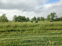 Cows grazing in a beautiful pasture Stock Images