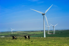 Cows grazing below wind turbines Royalty Free Stock Photography