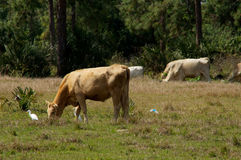 Cows grazing with bird. Cows are grazing in the field in the afternoon in bonita springs florida with a white heron standing nearby Stock Image