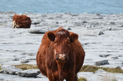 Cows Grazing on the Burren in Ireland Royalty Free Stock Image