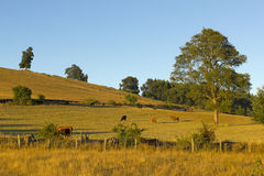 Cows grazing in Chile Royalty Free Stock Photos