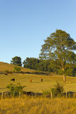 Cows grazing in Chile Stock Images