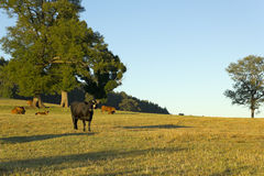 Cows grazing in Chile Stock Photography