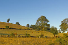 Cows grazing in Chile Royalty Free Stock Photography