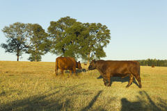 Cows grazing in Chile Royalty Free Stock Photo
