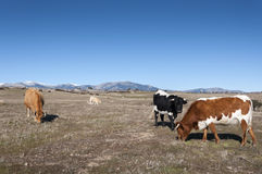 Cows grazing in Commonage pastures Stock Photo