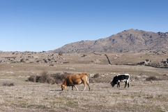 Cows grazing in Commonage pastures Stock Photography