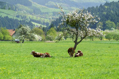 Cows grazing in countryside Stock Image