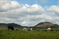 Cows grazing in countryside. Cows grazing on countryside moor with cloudscape background, Staffordshire, England Stock Photos