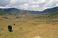 Cows are grazing in the countryside near Gangtey (Bhutan) Stock Images