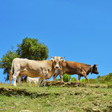 Cows grazing in the countryside in Spain. Some brown cows grazing free in the countryside in Spain stock photos