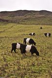 Cows grazing. In some mountain in Northern Ireland stock photos
