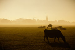 Cows grazing in de sunrise fog Royalty Free Stock Photography