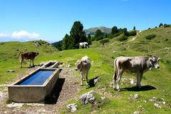Cows grazing, Dolomites, Italy Royalty Free Stock Photos