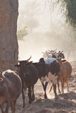 Cows grazing in the dust. Royalty Free Stock Image