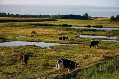 Cows grazing in the Dutch countryside Stock Image