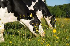 Cows grazing Royalty Free Stock Photos