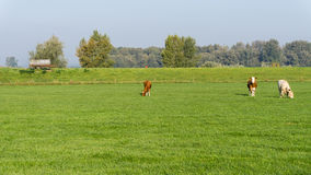 Cows grazing in dutch meadow Stock Image