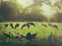 Cows grazing. Cows in early morning Royalty Free Stock Photos