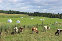 Cows grazing. In Eastern Townships royalty free stock photo