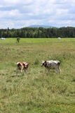 Cows grazing. In Eastern Townships royalty free stock images