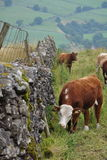 Cows grazing in English countryside. English countryside, Yorkshire Dales, with cows in grass by a drystone wall, fence; cloudy day Royalty Free Stock Photography
