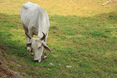 Cows grazing in a farm. Cows grazing eating grass in a farm Royalty Free Stock Image