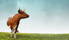 Cows grazing on a farm. Stock Photography