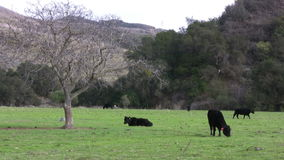 Cows Grazing at Farm Pasture stock video