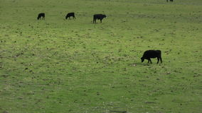 Cows Grazing at Farm Pasture stock footage