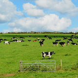 Cows grazing on a farmland in Dorset Stock Photography