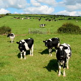 Cows grazing on a farmland in Dorset Royalty Free Stock Photos