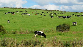 Cows grazing on a farmland in Dorset Royalty Free Stock Photo