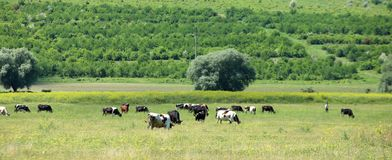 Cows grazing in a farmland Royalty Free Stock Photography
