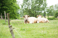 Cows grazing in a field Stock Photos