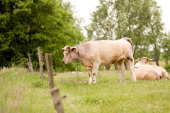 Cows grazing in a field Royalty Free Stock Photo