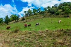 Cows grazing Royalty Free Stock Photos