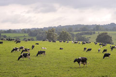 Cows grazing in field. Herd of cows grazing in rural field Stock Photo