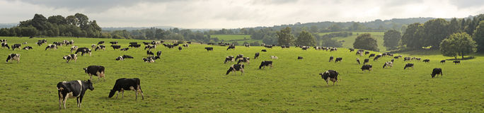 Cows grazing in field. Herd of cows grazing in rural field Stock Images