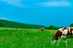 Cows Grazing on Field Against Sky Stock Photos