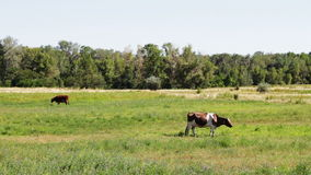 Cows grazing in the field stock video footage