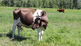 Cows grazing in the field stock footage